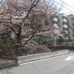 丸子川沿いの桜