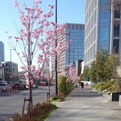 ライズの近くの桜