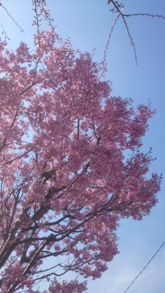 野川沿いの桜